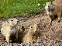 Prairie Dogs at Auchingarrich Wildlife Park